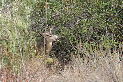 A native deer in the brush on the grounds of the Wild Animal Park