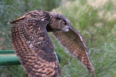 An owl at the Wild Animal Park