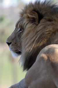 """A lion at the Wild Animal Park. Lions have captured our imaginations for centuries. Stars of movies and characters in books, lions are the top of the African food chain. The Swahili word for lion, simba, also means """"king,"""" """"strong,"""" and """"aggressive."""" It is estimated that there are between 6,000 and 10,000 lions in Africa. A lion's life is filled with sleeping, napping, and resting. Over the course of 24 hours, lions have short bursts of intense activity, followed by long bouts of lying around that total up to 21 hours! Lions are good climbers and often rest in trees, perhaps to catch a cool breeze or to get away from flies. Researchers have often noticed lions lying around in crazy poses, on their backs with their feet in the air or legs spread wide open!"""