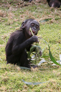 """Bonobo (Pygmy Chimp). Bonobos are members of the great ape family, along with gorillas, orangutans, and chimpanzees. Earlier scientists thought the bonobo Pan paniscus was just a smaller version of the common chimpanzee Pan troglodytes and so the term """"pygmy chimpanzee"""" was used. But don't be fooled! Bonobos and chimps are really quite different--you just need to know what to look for. Size--Chimps and bonobos are about the same size, but bonobos are more slender and have smaller heads and smaller ears. Food--Chimpanzees eat plant material as well as monkeys and other mammals when they have the chance. Bonobos eat leaves, stems, fruits, worms, insects, and sometimes small fish. Location--Bonobos are found only in a small part of one country in Africa, the Democratic Republic of Congo (formerly Zaire). The four subspecies of """"common"""" chimps range from western to central Africa. Getting Along--When trouble comes between common chimps, they often fight it out. They are also very protective of their territory and will kill chimps from another group, called a troop, if they try to move in. Bonobos don't seem to have established territories, and they tend to handle any squabbles or tension by using different sexual behaviors instead of aggression. Looks--Bonobos can walk upright more easily than common chimps can. They also keep their white rump patch for life, while the patch darkens with age in chimps. And bonobos have hair on their head that parts right down the middle!"""