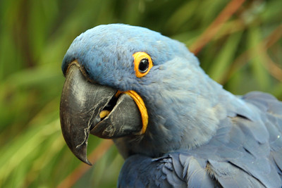 Hyacinth Macaw (Anodorhynchus hyacinthinus). This bird lives in the tropical lowland forests, palm savannas and open dry woodlands of Brazil.