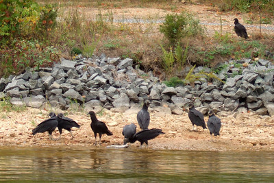 While Kathy headed back to California for a visit, Pat, Sydney and Christopher went camping and boating at Lake Anna State Park. On our first day on the water, we saw these Black Vultures eating on a dead fish. (Image taken with FinePix F10 at ISO 200, f5.0, 1/250 sec and 24mm)