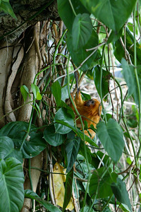 Golden lion tamarin (Leontopithecus rosalia rosalia). Size: 33.5 cm (13 in). Breeding programs may help increase numbers of this rare monkey but up to 95% of its natural habitat has been destroyed. National Aquarium in Baltimore (Image taken with Canon EOS-1DS at ISO 400, f3.5, 1/125 sec and 70mm)