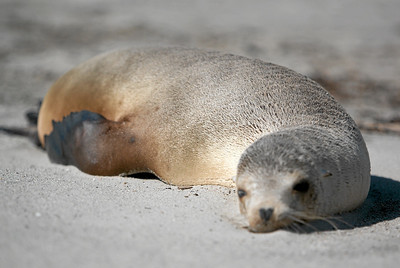 A dead sea lion that washed ashore at Oxnard Beach. (Image taken with Canon EOS-1D at ISO 200, f2.8, 1/5000 sec and 153mm)