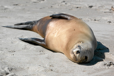 A sick sea lion that has washed ashore at Oxnard Beach. (Image taken with Canon EOS-1D at ISO 200, f8.0, 1/640 sec and 125mm)