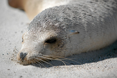 A dead sea lion that washed ashore at Oxnard Beach. (Image taken with Canon EOS-1D at ISO 200, f2.8, 1/3200 sec and 170mm)