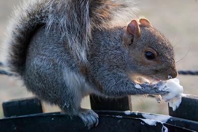 A squirrel enjoying junk food outside the National World War II Memorial
