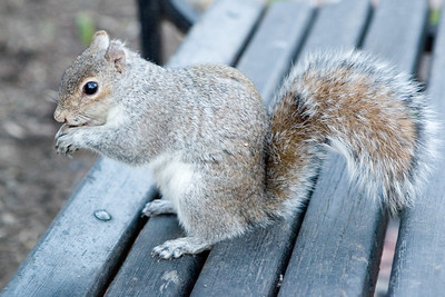 A squirrel enjoying a peanut in Lafayette Park, across the street from the White House.