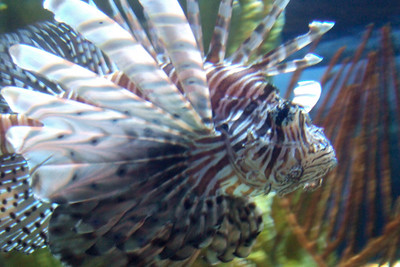 Lionfish at the National Aquarium in Baltimore (19 Oct 2008). (Image taken with FinePix F10 at ISO 800, f4.0, 1/10 sec and 16.1mm)