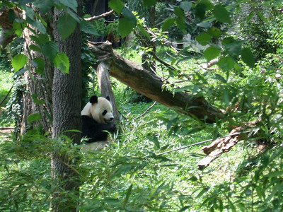 Panda at National Zoo (08 Jul 2008) (Image taken with FinePix F10 at ISO 200, f5.0, 1/140 sec and 24mm)