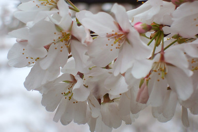Cherry Blossoms (30 Mar 2008) (Image taken with FinePix F10 at ISO 100, f5.0, 1/350 sec and 24mm)
