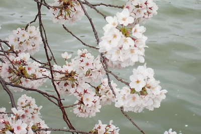 Cherry Blossoms (30 Mar 2008) (Image taken with FinePix F10 at ISO 200, f5.0, 1/450 sec and 24mm)