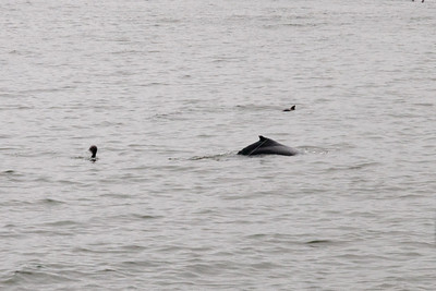 A humpback whale near the pier in Pismo Beach (01 Aug 2009) (Image taken with Canon EOS 20D at ISO 400, f18.0, 1/1000 sec and 70mm)