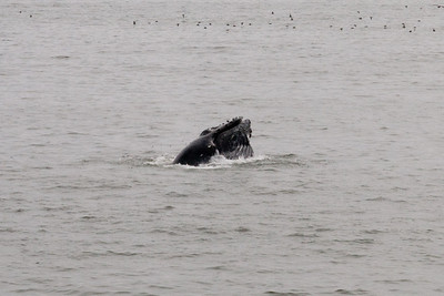 A humpback whale just offshore in Pismo Beach (01 Aug 2009) (Image taken with Canon EOS 20D at ISO 400, f18.0, 1/1000 sec and 70mm)