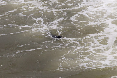 A sea lion off the pier in Pismo Beach (01 Aug 2009) (Image taken with Canon EOS 20D at ISO 400, f16.0, 1/800 sec and 70mm)