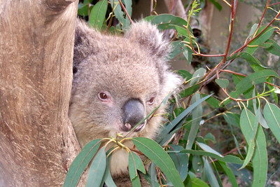 Koala at Nowra Wildlife Park (08 Jul 2009) (Image taken by Kathy T. Kane with FinePix F10 at ISO 800, f4.3, 1/100 sec and 18.1mm)