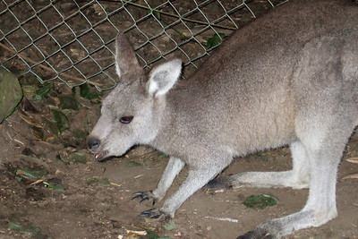 Kangaroo at the Nowra Wildlife Park (08 Jul 2009) (Image taken by Kathy T. Kane with FinePix F10 at ISO 800, f5.0, 1/100 sec and 24mm)