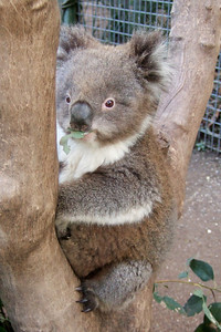 Koala at Nowra Wildlife Park (08 Jul 2009) (Image taken by Kathy T. Kane with FinePix F10 at ISO 800, f3.2, 1/100 sec and 10.4mm)