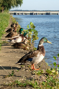 Ducks along the Potomac River. (Image taken by Sydney J. Kane on 19 Sep 2009 with FinePix F10 at ISO 200, f7.1, 1/280 sec and 24mm)