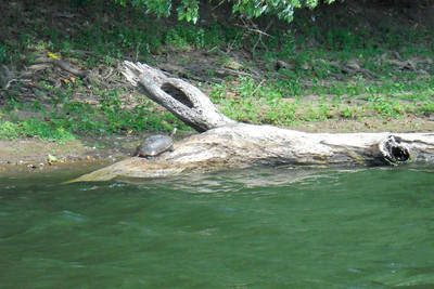 We saw a lot of turtles on both the creek and river. This one is about a foot long.   Patrick and Christopher rented a double kayak from River & Trail Outfitters and enjoyed a self-guided trip down Antietam Creek and along the Potomac River. We put in on Antietam Creek at Route 34, floated through Antietam National Battlefield, past Burnside Bridge, over some rapids and under a stone aqua duct at the creek's end. With six miles completed, we paddled an additional four against the wind on the Potomac River to the Dargan Bend boat ramp (near mile marker 65 on the C&O Canal). We spotted a bunch of turtles, a few crayfish and cranes, and even a bald eagle. It was a great trip. (Image taken by Patrick R. Kane on 21 Aug 2010 with COOLPIX S570 at ISO 400, f6.6, 1/320 sec and 25mm)