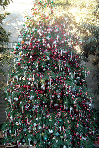 Christmas Tree on display at the U.S. Botanic Garden. (Image taken by Sydney J. Kane on 28 Nov 2010 with FinePix F10 at ISO 800, f2.8, 1/60 sec and 8mm)