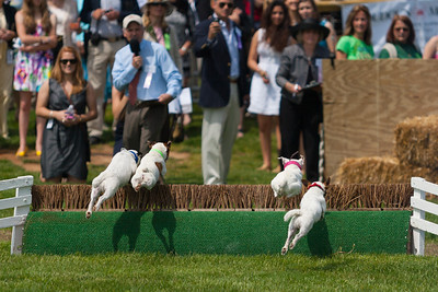 Jack Russell terrier races at the 86th running of the Virginia Gold Cup steeplechase race at Great Meadow in The Plains, Virginia (Image taken by Patrick R. Kane on 07 May 2011 with Canon EOS-1D Mark II at ISO 100, f2.8, 1/5000 sec and 200mm)