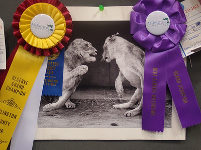 Sydney's 'Careful Now' photo of two lions at the National Zoo was recognized as a Reserve Grand Champion, i.e., it was the 2nd best teen photo overall! The photo won a 1st Place Premium Ribbon for the best teen B&W animal photo and a Grand Champion Ribbon for the best teen B&W photo. 2012 Arlington County Fair, Photography (Department VI), Teen (Division T), Black and White (Section C), Animal(s) (Class 830). (Image taken by Patrick R. Kane on 11 Aug 2012 with XZ-1 at ISO 200, f2.0, 1/30 sec and 9.9mm)