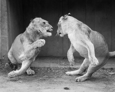 Sydney's 'Careful Now' photo of two lions at the National Zoo was recognized as a Reserve Grand Champion, i.e., it was the 2nd best teen photo overall! The photo won a 1st Place Premium Ribbon for the best teen B&W animal photo and a Grand Champion Ribbon for the best teen B&W photo. 2012 Arlington County Fair, Photography (Department VI), Teen (Division T), Black and White (Section C), Animal(s) (Class 830). (Image taken by Sydney J. Kane on 19 Feb 2012 with Canon EOS 5D at ISO 200, f2.8, 1/1250 sec and 300mm)