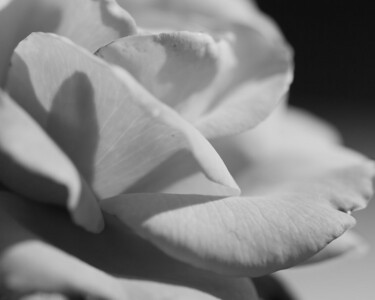 Sydney's 'Bloodless Rose' photo won a 3rd Place Premium Ribbon in teen B&W Nature or Flowers photos. 2012 Arlington County Fair, Photography (Department VI), Teen (Division T), Black and White (Section C), Nature or Flowers (Class 835)  A photograph by Sydney at Dumbarton Oaks Gardens as she learns photography using Mom's camera and either a Sigma 150mm f2.8 APO Macro DG EX HSM or Canon EF 17-40mm f4 L lens (Image taken by Sydney J. Kane on 25 Sep 2010 with Canon EOS 20D at ISO 100, f4.0, 1/320 sec and 150mm)