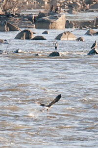 A bald eagle snatches a fish below Conowingo Dam (Image taken by Patrick R. Kane on 03 Apr 2012 with Canon EOS-1D Mark III at ISO 640, f4.0, 1/1250 sec and 400mm)