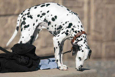 A dalmation came to watch his owner fish below Conowingo Dam (Image taken by Patrick R. Kane on 03 Apr 2012 with Canon EOS-1D Mark III at ISO 400, f4.0, 1/1600 sec and 400mm)
