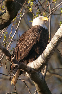 Bald eagle perched in the trees behind the parking lot at Conowingo Dam (Image taken by Patrick R. Kane on 03 Apr 2012 with Canon EOS-1D Mark III at ISO 640, f5.6, 1/640 sec and 560mm)