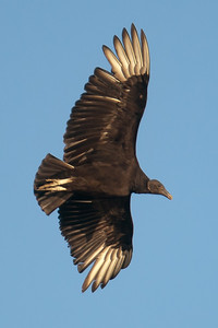 A black vulture in flight at Conowingo Dam (Image taken by Patrick R. Kane on 03 Apr 2012 with Canon EOS-1D Mark III at ISO 640, f4.0, 1/1600 sec and 400mm)