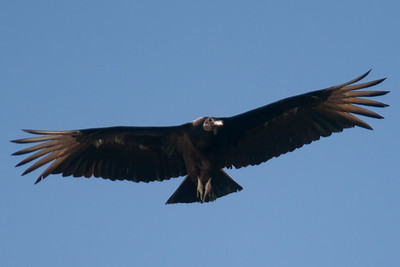 A black vulture in flight at Conowingo Dam (Image taken by Patrick R. Kane on 03 Apr 2012 with Canon EOS-1D Mark III at ISO 640, f4.0, 1/2500 sec and 400mm)