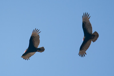 Turkey vultures in flight at Conowingo Dam (Image taken by Patrick R. Kane on 03 Apr 2012 with Canon EOS-1D Mark III at ISO 400, f4.0, 1/1250 sec and 400mm)
