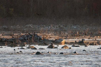 Bald eagles and vultures perched below Conowingo Dam (Image taken by Patrick R. Kane on 03 Apr 2012 with Canon EOS-1D Mark III at ISO 200, f4.0, 1/250 sec and 400mm)