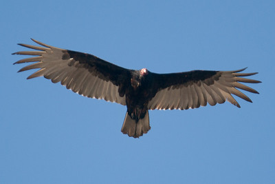 A turkey vulture in flight at Conowingo Dam (Image taken by Patrick R. Kane on 03 Apr 2012 with Canon EOS-1D Mark III at ISO 400, f4.0, 1/1250 sec and 400mm)