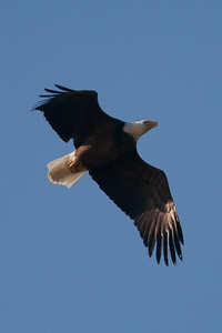 A bald eagle at Conowingo Dam (Image taken by Patrick R. Kane on 03 Apr 2012 with Canon EOS-1D Mark III at ISO 640, f4.0, 1/6400 sec and 400mm)