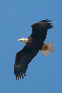 A bald eagle at Conowingo Dam (Image taken by Patrick R. Kane on 03 Apr 2012 with Canon EOS-1D Mark III at ISO 400, f4.0, 1/1250 sec and 400mm)