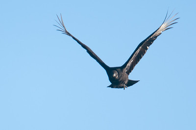 A black vulture in flight at Conowingo Dam (Image taken by Patrick R. Kane on 03 Apr 2012 with Canon EOS-1D Mark III at ISO 400, f4.0, 1/1250 sec and 400mm)