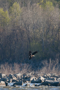 A mature bald eagle tries to steal the fish from a juvenile bald eagle below Conowingo Dam (Image taken by Patrick R. Kane on 03 Apr 2012 with Canon EOS-1D Mark III at ISO 640, f4.0, 1/2500 sec and 400mm)
