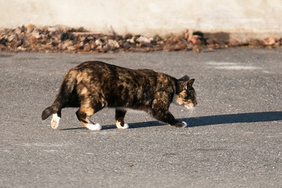 A cat strolling through the parking lot below Conowingo Dam (Image taken by Patrick R. Kane on 03 Apr 2012 with Canon EOS-1D Mark III at ISO 640, f4.0, 1/1250 sec and 400mm)