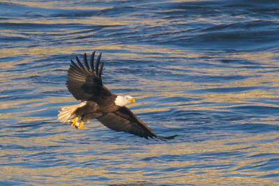 A bald eagle just caught a fish at Conowingo Dam (Image taken by Patrick R. Kane on 21 Nov 2012 with Canon EOS-1D Mark IV at ISO 640, f5.6, 1/2500 sec and 560mm)