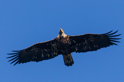 A bald eagle at Conowingo Dam (Image taken by Patrick R. Kane on 21 Nov 2012 with Canon EOS-1D Mark IV at ISO 800, f8.0, 1/1000 sec and 560mm)
