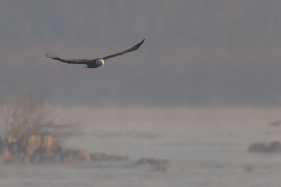 A bald eagle at Conowingo Dam (Image taken by Patrick R. Kane on 21 Nov 2012 with Canon EOS-1D Mark IV at ISO 800, f5.6, 1/2000 sec and 560mm)