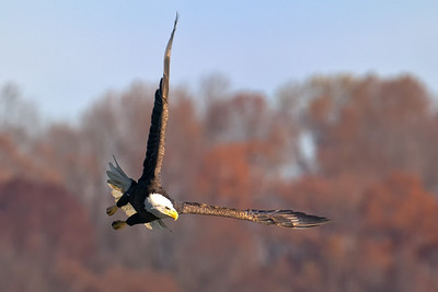 A bald eagle at Conowingo Dam (Image taken by Patrick R. Kane on 21 Nov 2012 with Canon EOS-1D Mark IV at ISO 400, f7.1, 1/1250 sec and 560mm)