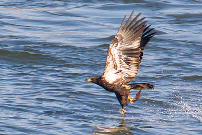 A juvenile bald eagle catches a fish at Conowingo Dam (Image taken by Patrick R. Kane on 21 Nov 2012 with Canon EOS-1D Mark IV at ISO 800, f8.0, 1/1000 sec and 560mm)