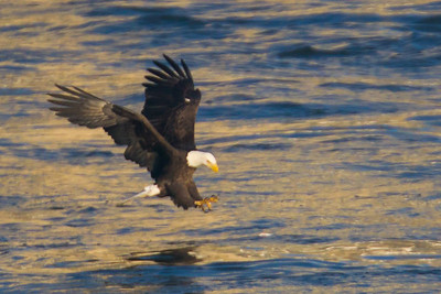 A bald eagle getting ready to catch a fish at Conowingo Dam (Image taken by Patrick R. Kane on 21 Nov 2012 with Canon EOS-1D Mark IV at ISO 640, f5.6, 1/2500 sec and 560mm)