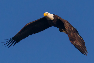 A bald eagle at Conowingo Dam (Image taken by Patrick R. Kane on 21 Nov 2012 with Canon EOS-1D Mark IV at ISO 640, f8.0, 1/2500 sec and 560mm)