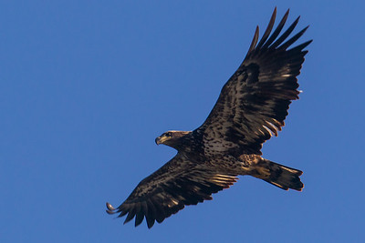A juvenile bald eagle at Conowingo Dam (Image taken by Patrick R. Kane on 21 Nov 2012 with Canon EOS-1D Mark IV at ISO 400, f8.0, 1/1000 sec and 560mm)